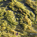 Algae Bloom In A Pond by Photo Researchers, Inc.