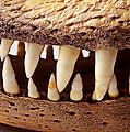 Alligator Skull Teeth by Garry Gay