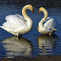 Alpha Swan by Brian Stevens