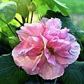 Althea Rose Of Sharon by Kevin Smith