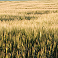 Amber Waves Of Grain by Cindy Singleton