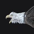 American Bald Eagle by Paul Ward