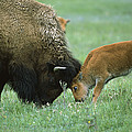 American Bison Cow And Calf by Suzi Eszterhas
