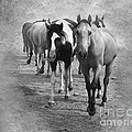 American Quarter Horse Herd In Black And White by Betty LaRue