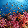 Anthias Fish And Soft Corals, Fiji Print by Todd Winner