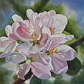 Apple Blossoms by Sharon Freeman