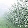 Apple Orchard by Jeremy Walker