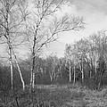 Autumn Birches by Anna Villarreal Garbis