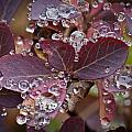 autumn Huckleberry leaves macro in autumn Print by Ed Book