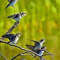 Baby Tree Swallows Feeding #1 by John Stoj