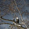 Bald Eagle In A Tree by Con Tanasiuk