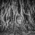 Banyan Tree Print by Adrian Evans