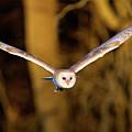 Barn Owl In Flight by MarkBridger