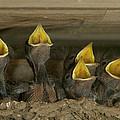 Barn Swallow Hirundo Rustica Chicks by Cyril Ruoso