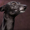 Beautiful Whippet Dog by Ethiriel  Photography