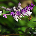 Bee on Flower Print by Kaye Menner