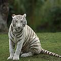 Bengal Tiger Panthera Tigris Tigris by Konrad Wothe