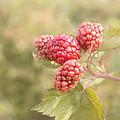 Berry Good by Kim Hojnacki