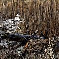 Birds Of Bc - No.13 - Snowy Owl Doo Doo by Paul W Sharpe Aka Wizard of Wonders