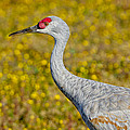 Birds Of Bc - No. 35 - Young Sand Hill Crane by Paul W Sharpe Aka Wizard of Wonders