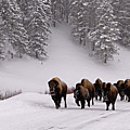 Bison In Winter by DBushue Photography
