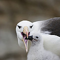 Black Browed Albatross Preparing by Suzi Eszterhas