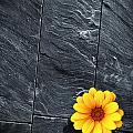Black Schist Flower by Carlos Caetano