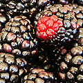 Blackberries  by JC Findley