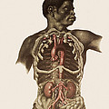 Blood Vessels Of The Thorax And Abdomen Print by Mehau Kulyk
