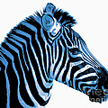 Blue Zebra Art by Rebecca Margraf