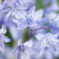 Bluebells by Nick Dolding