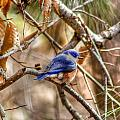Bluebird via roadside
