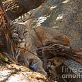 Bobcat by DiDi Higginbotham