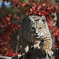 Bobcat Felis Rufus Walks Along Branch by David Ponton
