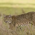 Bobcat Female Walking Santa Cruz by Sebastian Kennerknecht