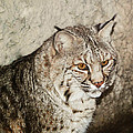Bobcat Iv by DiDi Higginbotham