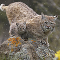 Bobcat Mother And Kitten In Snowfall Print by Tim Fitzharris