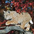 Bobcat Walks On Branch Through Hawthorn by David Ponton