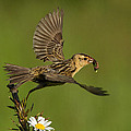 Bobolink by Mircea Costina Photography