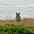 Bodega Bay Bobcat by Mitch Shindelbower