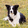 Border Collie In Field Of Yellow Flowers by Michelle Wrighton