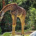 Bowing Giraffe Print by Mariola Bitner