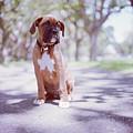 Boxer Puppy by Diyosa Carter