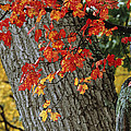 Bright Red Maple Leaves Against An Oak by Tim Laman