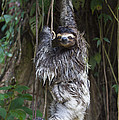 Brown Throated Three Toed Sloth Mother by Suzi Eszterhas