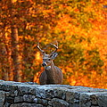 Buck In The Fall 01 by Metro DC Photography