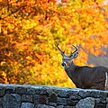 Buck In The Fall 07 by Metro DC Photography