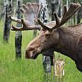 Bull Moose Portrait Print by Cathy  Beharriell