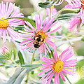 Bumble Bee On Asters by Lena Auxier