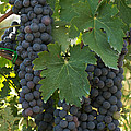 Bunches Of Sangiovese Grapes Hang by Heather Perry
